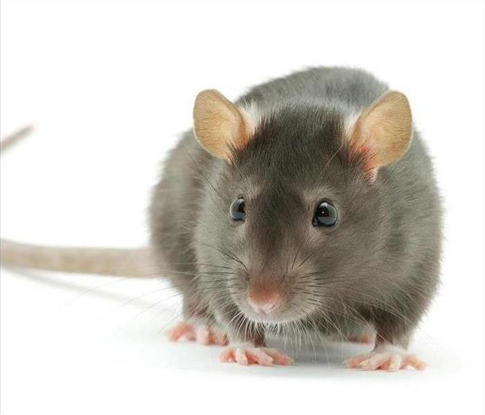 Fire Damage Home Safety: Rodents are a fire hazard too